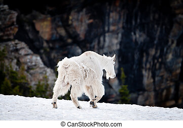 Mountain goat walking away - White mountain goat walking...