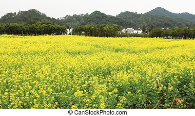 wuyuan81mov - beautiful old village in China, rape field