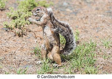 Ground squirrel standing upright - A ground squirrel, Xerus...