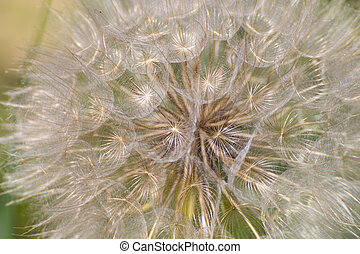 Detail of Dandelion Ripe Fruits creates a pattern