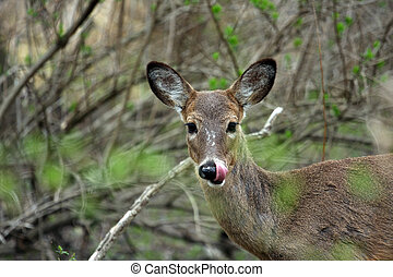 White-tail Deer Licking Good