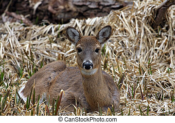 White-tail Deer Doe Laying In Marsh