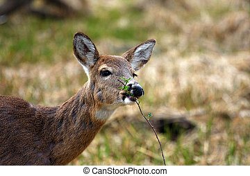 White-tail Deer Doe Snack Time