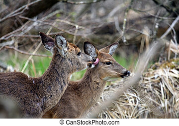 White-tail Deer Kiss For Little One