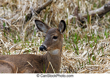 White-tail Deer Doe Profile