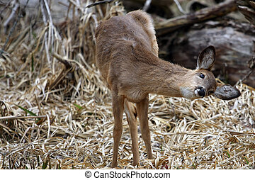 White-tail Deer Got An Itch