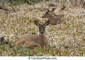 White-tail Deer Three Laying In Marsh