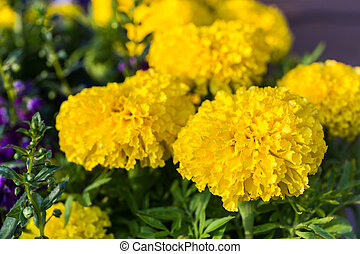 Yellow marigold Tagetes erecta - Yellow marigold flowers in...