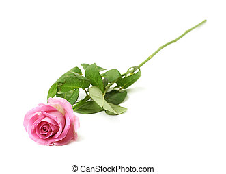 Single pink rose isolated over the white background