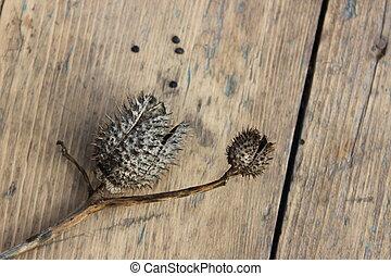 Dry flower datura seeds