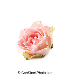 Single white rose bud isolated over the white background