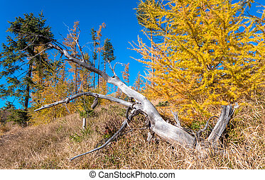 Autumn coniferous trees in forest
