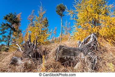 Yellow coniferous trees in forest