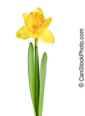 Spring yellow daffodil flower isolated on white background