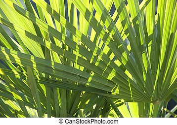 palm leaves - green palm leaves with backlight
