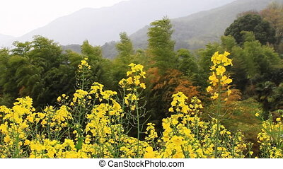 wuyuan29mov - rape flower and bamboo in wind
