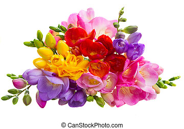 Fresh freesia flowers - Fresh yellow, red, pink and blue...