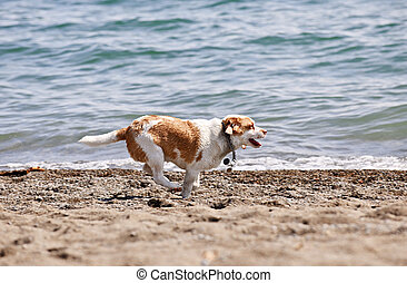 Dog running on beach - Small wet dog running along a sandy...
