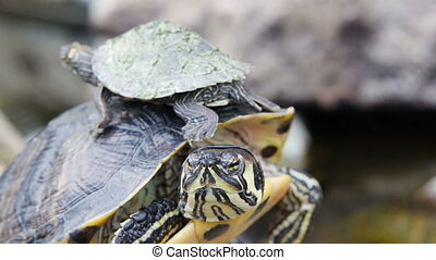 Adult Yellow-bellied Slider turtle and baby - Adult...