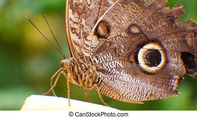 Blue Morpho butterfly Morpho peleides moving his legs