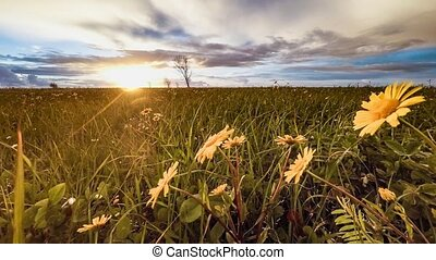 Flowering yellow daisy flowers on a background sunset
