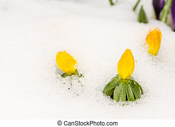 Yellow winter aconite flowers in the snow - Closeup of...