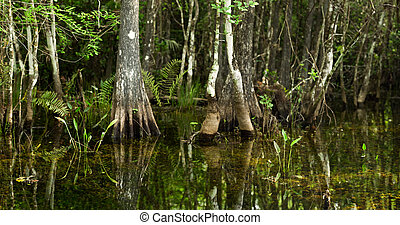 Swamp Scene in Florida Everglades - Swamp scene typical of...