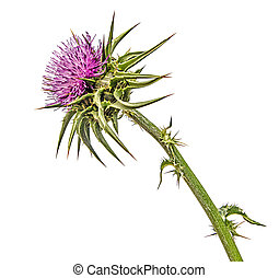 Flowering Spear Thistle Cirsium vulgare