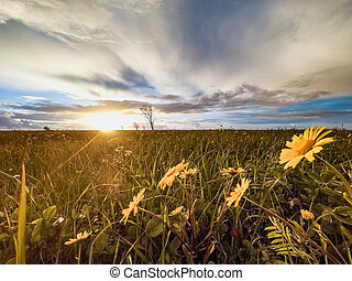 Flowering  yellow daisy flowers on a background sunset.