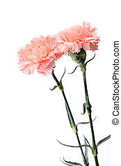 carnation, flower for mother day