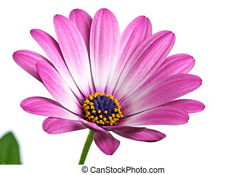 Closeup shot of pink arctotis flower isolated on the white...