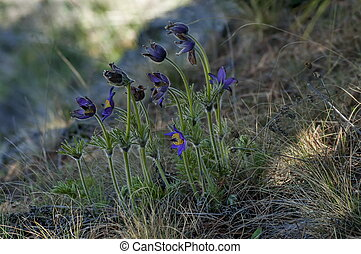 Common pasque flower pulsatilla vulgaris, earliest flowers...
