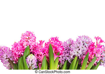 Pink and violet hyacinths flowers row isolated on white...