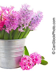 Pink and violet hyacinths in metal pot close up isolated on...
