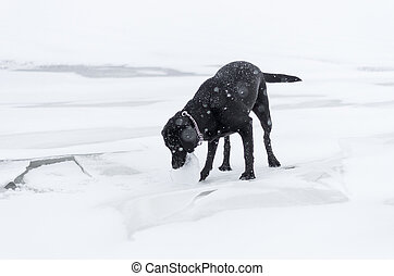 The black dog playing on the snowy embankment - The black...