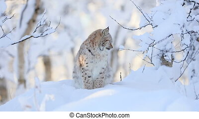 Lynx cub in the cold winter forest - Close-up of a young...