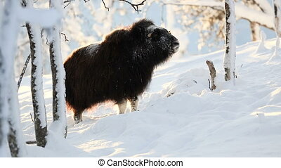 Large musk standing in the winter snow at sunset - Big musk...
