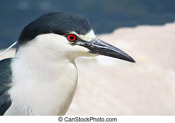 Black-crownd Night heron