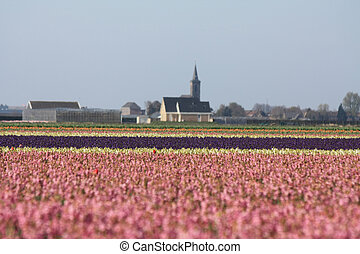 Pink hyacints in a field - Dutch floral industry, fields...