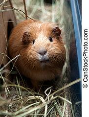Portret of red guinea pig Close up