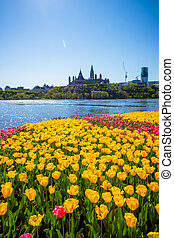 Ottawa tulips  festival with Peace Tower as background
