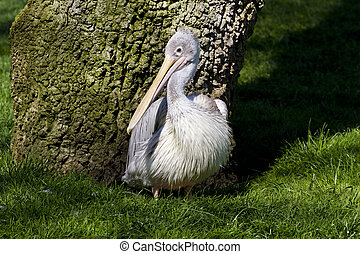 Pelican from Zoo