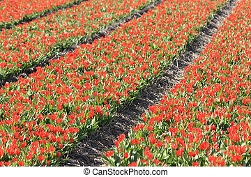red tulips on a field - Dutch floral industry, small red...