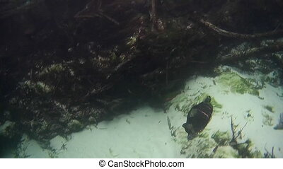 Turtle in a Freash Crystal Clear Florida Spring weeki wachee...