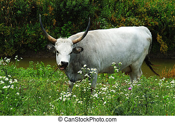 hungarian grey cattle or hungarian steppe cattle