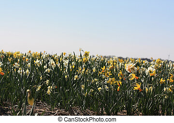 Daffodils on a field - Mixed daffodils, white and yellow,...