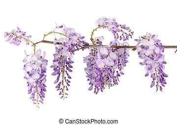 wisteria branch blossom isolated on white background
