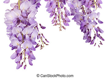 wisteria closeup - beautiful wisteria flowers isolated on...