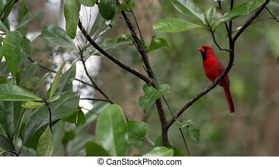 Male Northern Cardinal Bird - Cardinal Bird