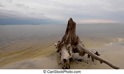 Cypress Tree roots Carabelle Beach Florida - Cypress Tree...